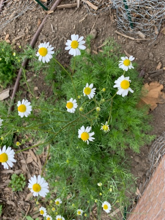 Organically grown chamomile